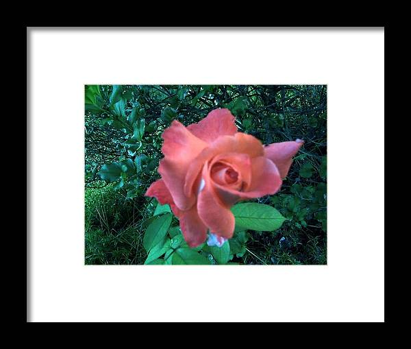 Pink Framed Print featuring the photograph Pink Rose Awakening by Misty VanPool