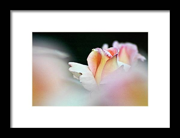 Rose Framed Print featuring the photograph Pink Rose by Heiko Koehrer-Wagner