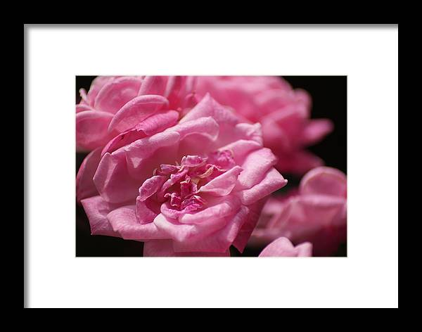 Roses Framed Print featuring the photograph Pink Roses by Heather Green
