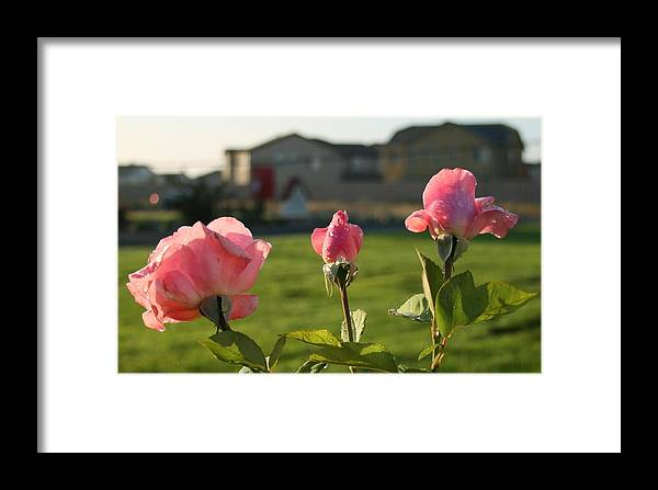 Pink Framed Print featuring the photograph Pink Roses by Joshua Sunday