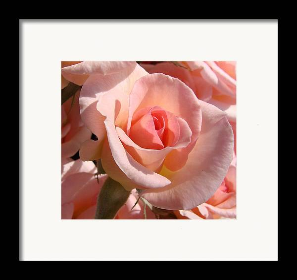 Pink Framed Print featuring the photograph Pink Roses by Liz Vernand