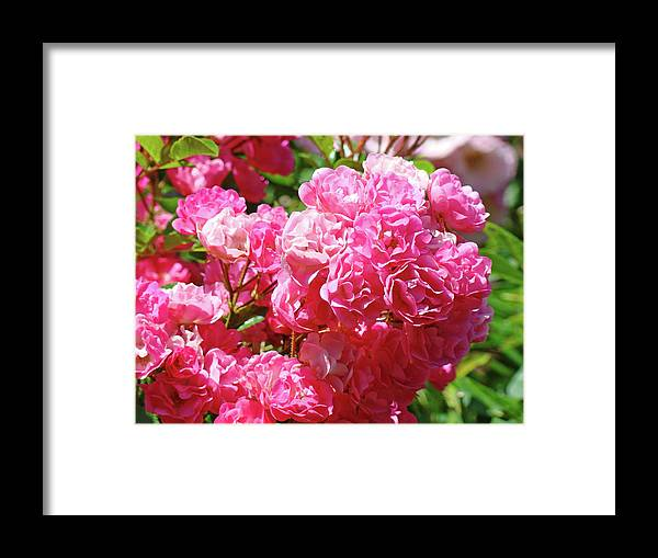 Rose Framed Print featuring the photograph Pink Roses Summer Rose Garden Roses Giclee Art Prints Baslee Troutman by Baslee Troutman