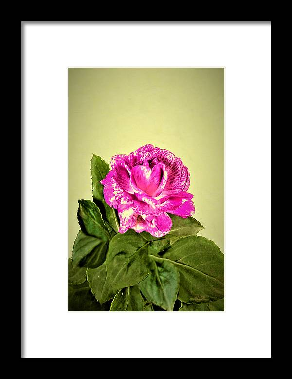 Rose Framed Print featuring the photograph Pink Speckled Rose 1 by Olga Zavgorodnya