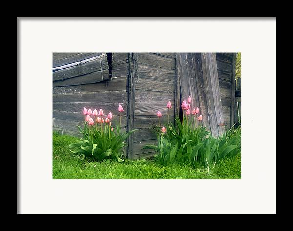 Garden Framed Print featuring the photograph Pink Tulips And Weathered Shed by Roger Soule