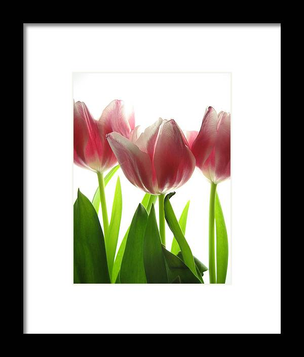 Tulip Framed Print featuring the photograph Pink Tulips by Jane Linders