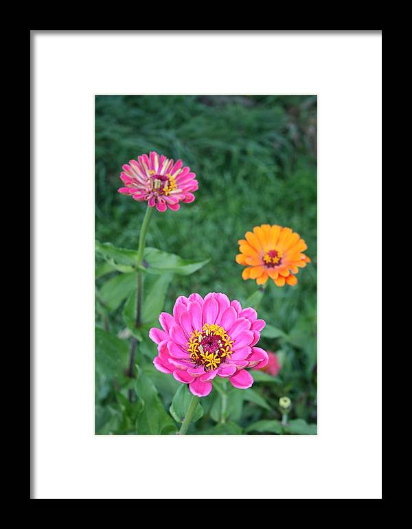 Gerber Framed Print featuring the photograph Pink Upfront by Nicole Herbert