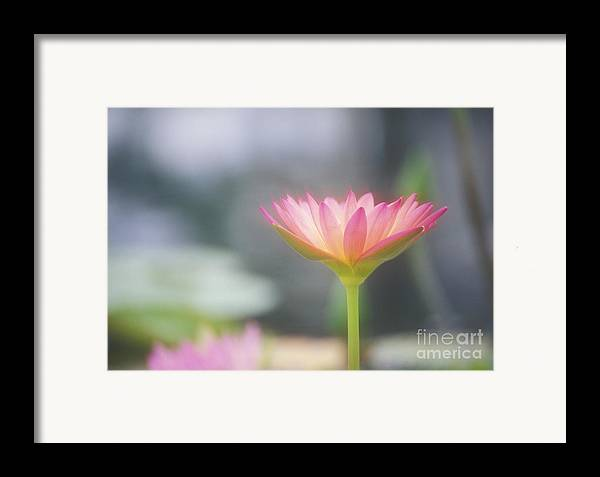 Afternoon Framed Print featuring the photograph Pink Water Lily by Ron Dahlquist - Printscapes