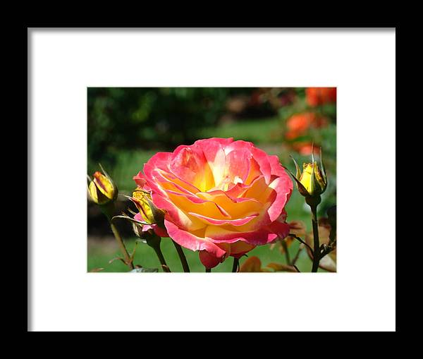 Rose Framed Print featuring the photograph Pink Yellow Roses 3 Summer Rose Garden Giclee Art Prints Baslee Troutman by Baslee Troutman