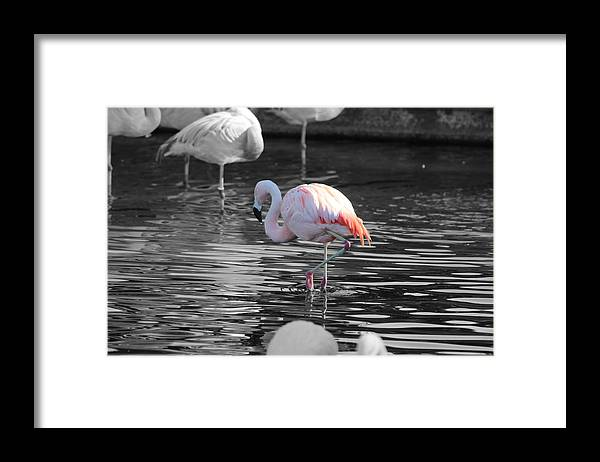 Palm Desert California Framed Print featuring the photograph Pinky by Colleen Cornelius