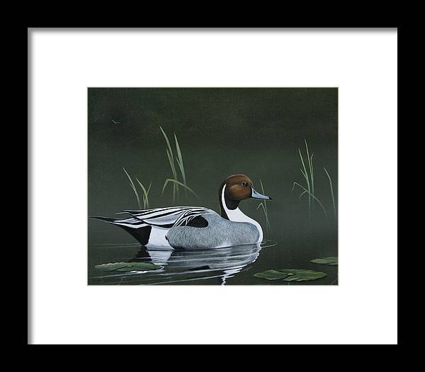 Duck Framed Print featuring the painting Pintail Portrait by Don Griffiths