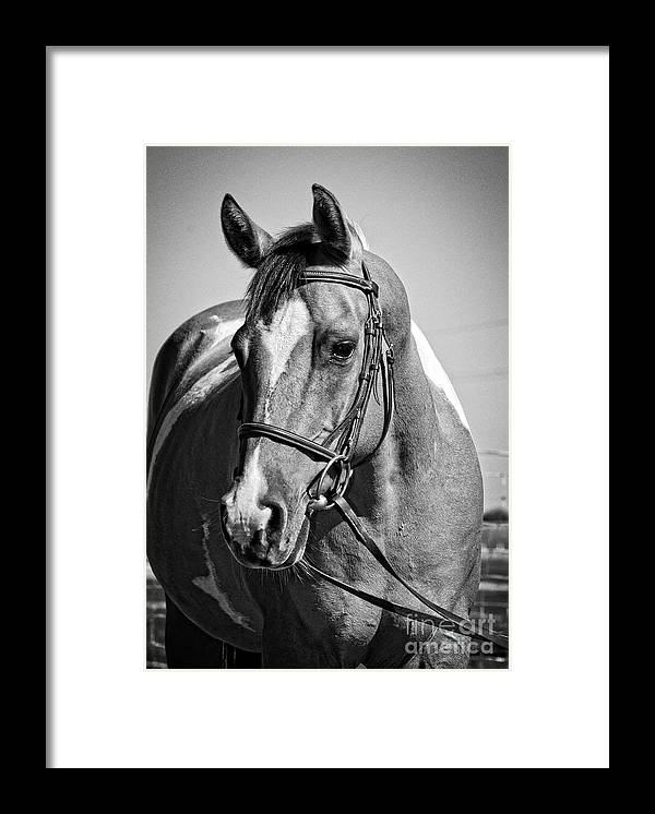 Horse Framed Print featuring the photograph Pinto Pony Portrait Black And White by Jim And Emily Bush