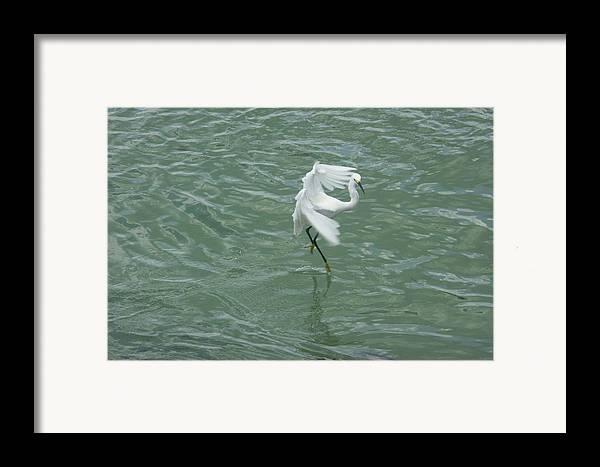 Bird Framed Print featuring the photograph Pirouette by Dean Corbin