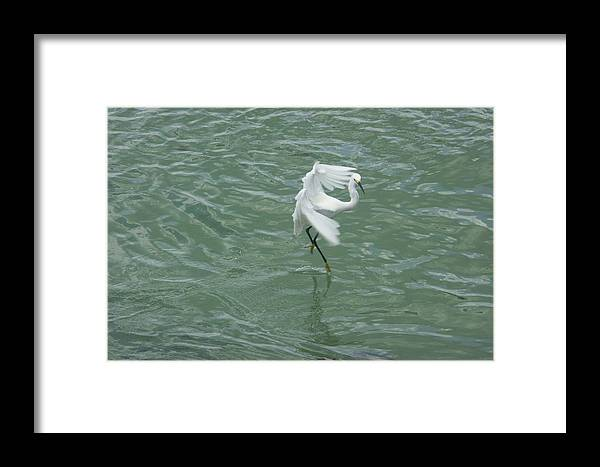 Bird Framed Print featuring the photograph Pirouette by Dean Corbin
