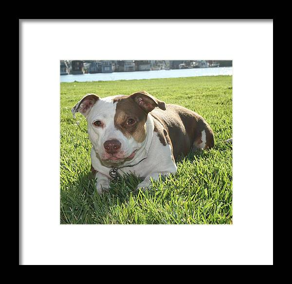Girl Framed Print featuring the photograph Pitbull In The Sun by Joshua Sunday