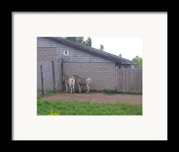 Zebra Framed Print featuring the photograph Plains Zebras In The Corner by Melissa Parks