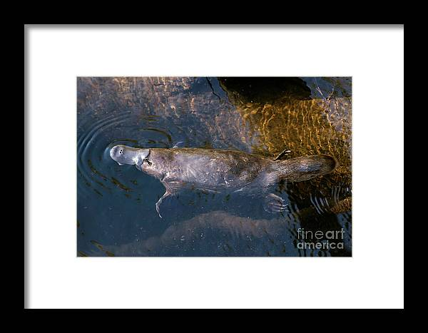 Platypus Framed Print featuring the photograph Platypus by Leeo Photography