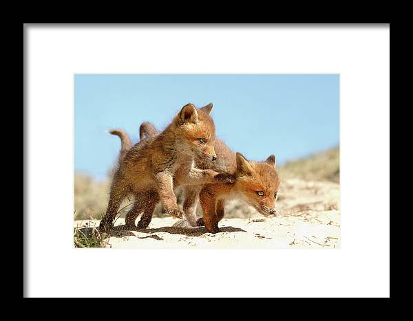 Fox Kit Framed Print featuring the photograph Playing Fox Kits by Roeselien Raimond