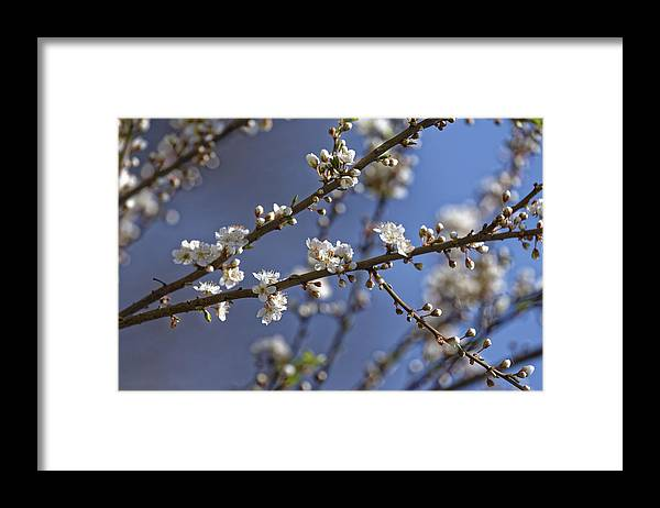 Apple Framed Print featuring the photograph Plum blossom in the sky by Adrian Bud
