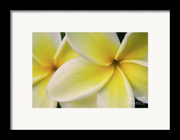 Nature Framed Print featuring the photograph Plumeria Flowers by Julia Hiebaum