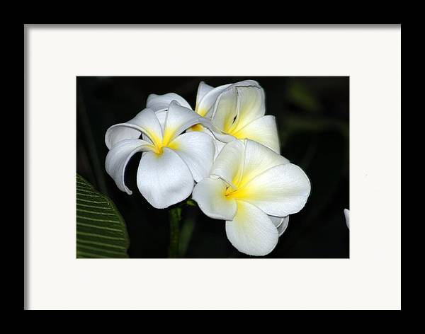 Framed Print featuring the photograph Plumeria by JK Photography