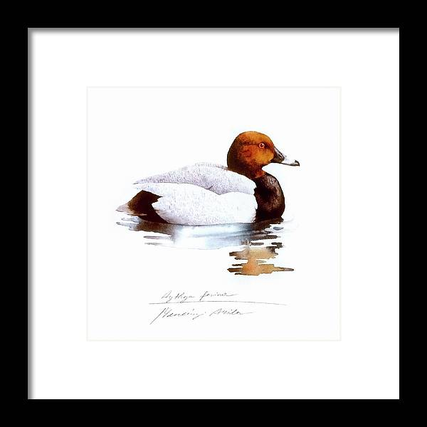 Pochard Framed Print featuring the painting Pochard by Attila Meszlenyi