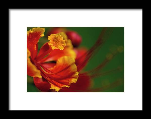 America Framed Print featuring the photograph Poinciana by Eggers Photography