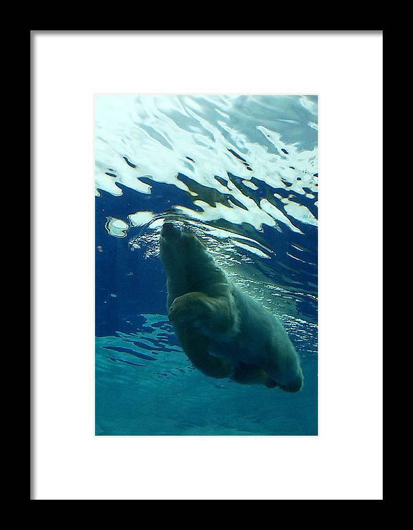 Polar Bear Framed Print featuring the photograph Polar Swim by Jennifer Englehardt