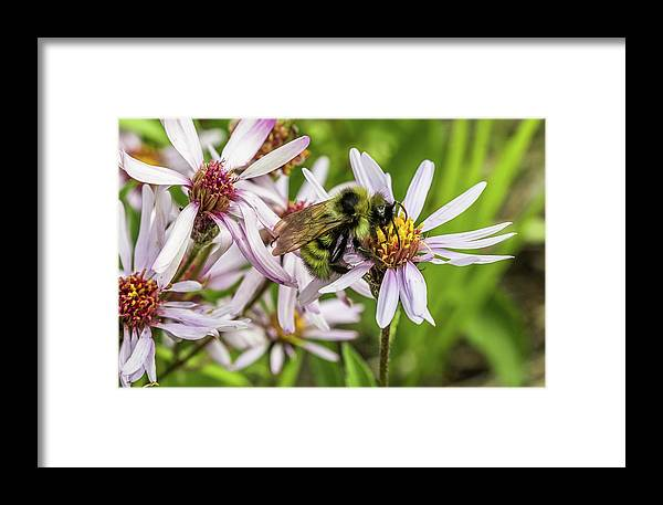 Alaska Framed Print featuring the photograph Pollen Gathering by Corinna Gregory