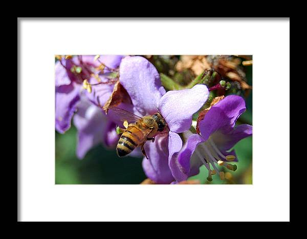 Flower Framed Print featuring the photograph Pollinating 2 by Amy Fose