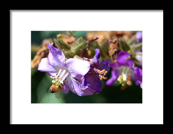 Bee Framed Print featuring the photograph Pollinating 3 by Amy Fose