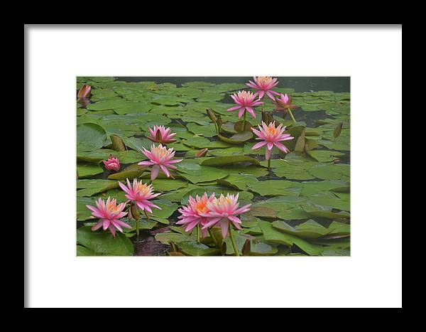 Nymphaeaceae Framed Print featuring the photograph Pond Decor by Jamart Photography