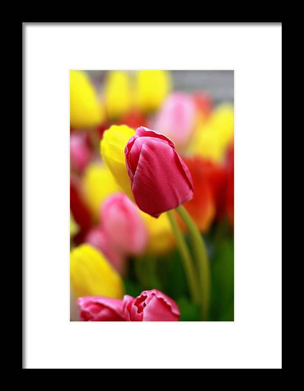 Tulip Color Flower Framed Print featuring the photograph Pop Out by Sangeeth Sg