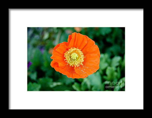 Orange Poppie Framed Print featuring the photograph Poppie by Maureen Norcross