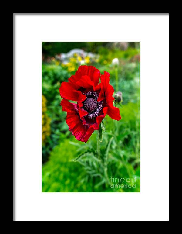 Poppy Framed Print featuring the photograph Poppy by Adrian Evans
