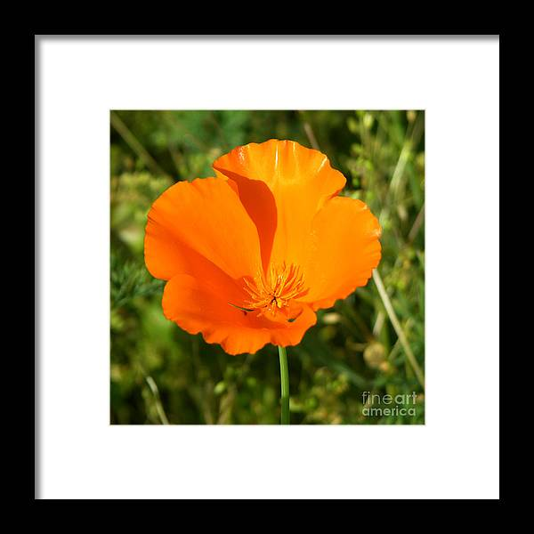 Floral Framed Print featuring the photograph Poppy by Paul Anderson