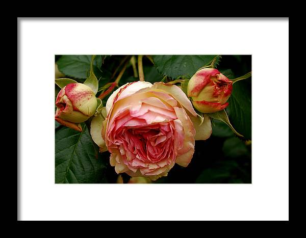 Flowers Framed Print featuring the photograph Portland's Rose Garden by Sonja Anderson