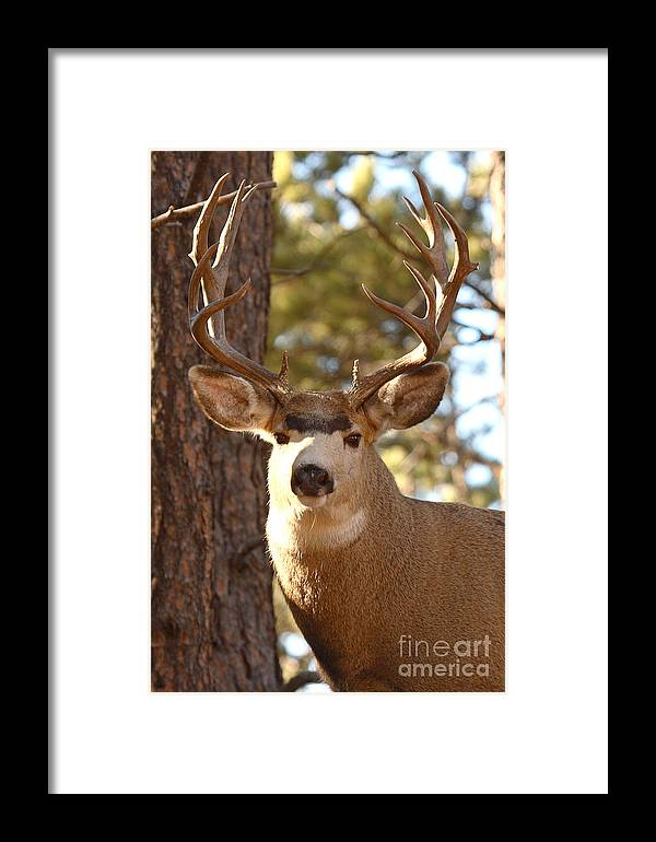 Buck Framed Print featuring the photograph Portrait Of A 15-point Buck by Max Allen