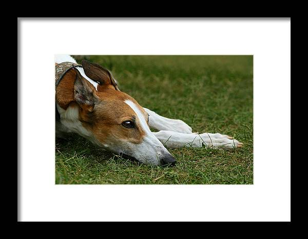Editorial Framed Print featuring the photograph Portrait Of A Greyhound - Soulful by Angela Rath