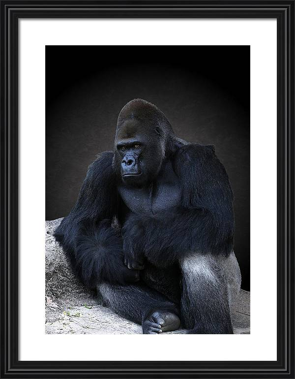 Studio Dalio - Portrait Of A Male Gorilla Framed Print