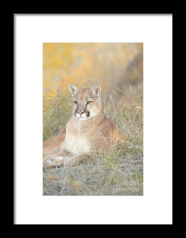 Mountain Lion Framed Print featuring the photograph Portrait Of A Mountain Lion by Dennis Hammer