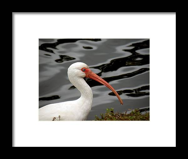 Birds Framed Print featuring the photograph Portrait Of A White Ibis by Rosalie Scanlon