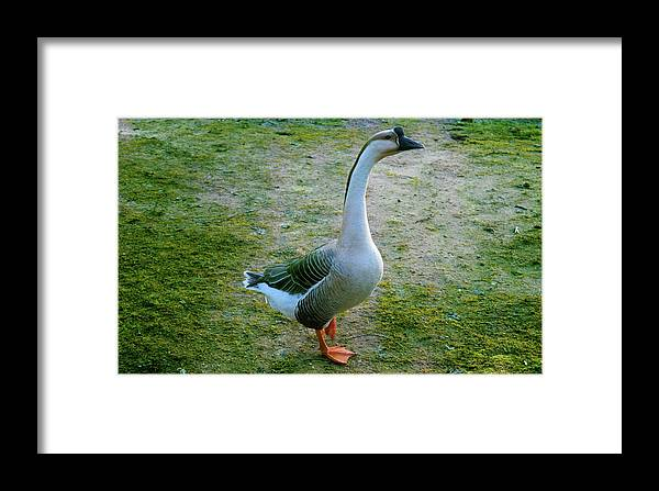 Goose Framed Print featuring the photograph Posing Goose by Niioko Landers