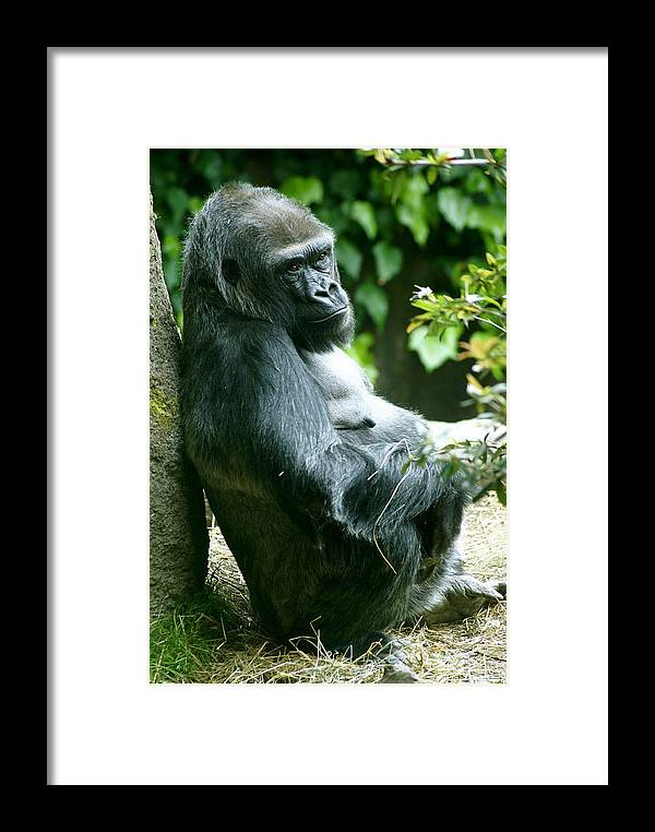 Animal Framed Print featuring the photograph Posing Gorilla by Sonja Anderson