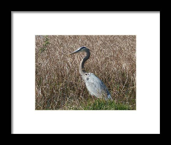 Great Blue Heron Florida Bird Landscape Framed Print featuring the photograph Posing Heron by Warren Thompson
