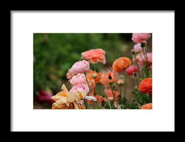 Powder Pink Ranunculus Framed Print featuring the photograph Powder Pink and Salmon Ranunculus by Colleen Cornelius
