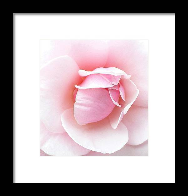 Botanical Framed Print featuring the photograph Powder Puff Rose by Florene Welebny