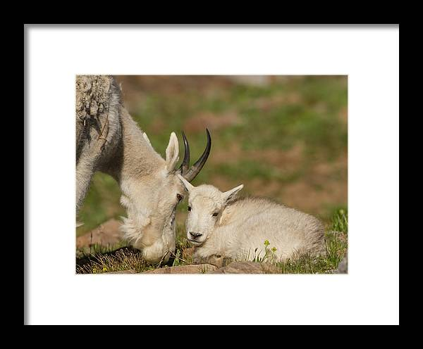 Mountain Goat Framed Print featuring the photograph Precious Kid by Kent Keller