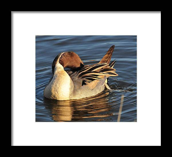 Photography Framed Print featuring the photograph Preening In The Sun by Joel Brady-Power