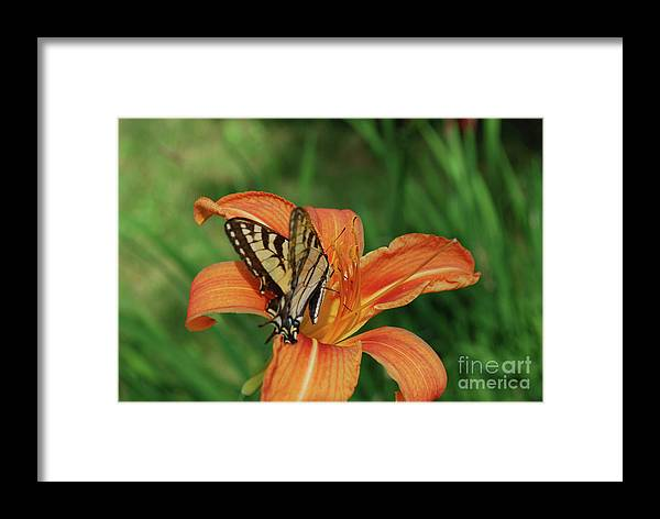 Lily Framed Print featuring the photograph Pretty Orange Lily With A Butterfly On It's Petals by DejaVu Designs