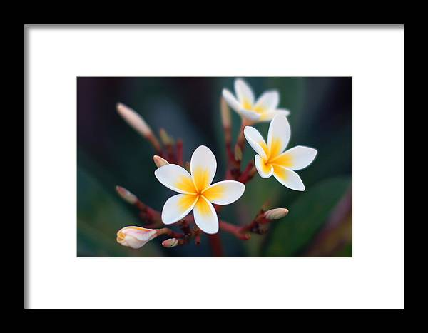 White Framed Print featuring the photograph Pretty Plumerias by Mandy Wiltse